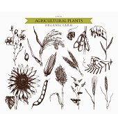 Vector collection of ink hand drawn agricultural plants sketches. Vintage illustration with legumes, cereal crops, sunflower and flax.