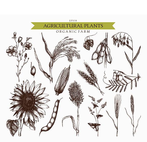 ilustrações de stock, clip art, desenhos animados e ícones de fazenda frescos e orgânicos vegetais conjunto. - ilustrações de oats