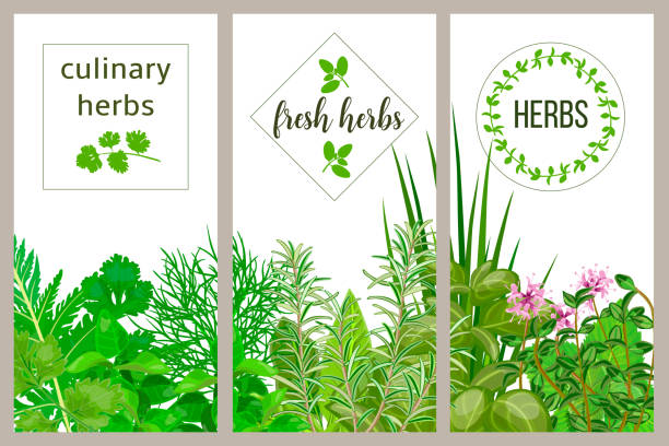 Farm fresh cooking herbs. Set of culinary cards. Greenery, basil, vector icon, Hydroponik Farm fresh cooking herbs. Set of culinary cards. Greenery, basil, vector icon, rosemary, herbal set, thyme, dill, mint, chives text Horticulture houseplants Kitchen Gardening Hydroponik dill stock illustrations