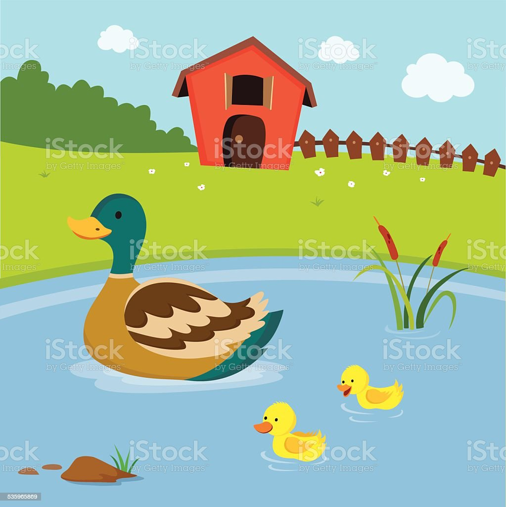 farm mother duck and the ducklings swimming in the pond stock