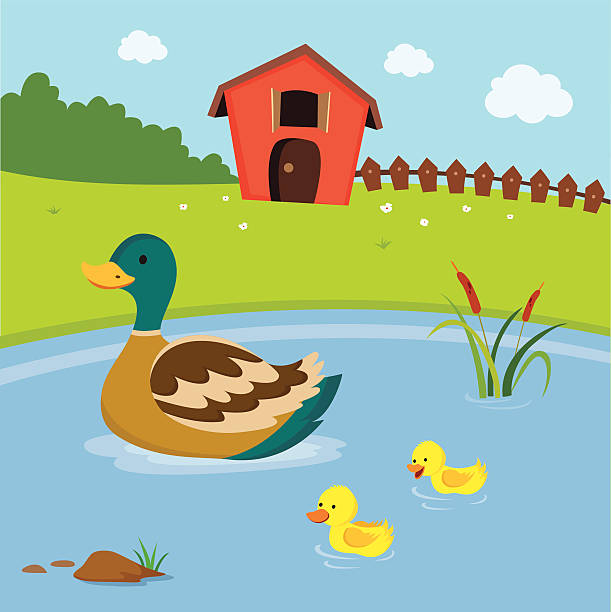 farm. mutter-ente und die ducklings schwimmen im teich zu. - entenhaus stock-grafiken, -clipart, -cartoons und -symbole