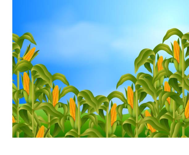 farm scene with fresh corn - corn field stock illustrations, clip art, cartoons, & icons