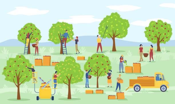 ilustrações de stock, clip art, desenhos animados e ícones de farm scene with workers picking apples - picking fruit