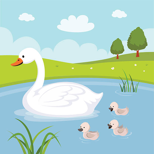 Farm. Swan and baby swans Mother swan and babies swimming in the pond. ducking stock illustrations