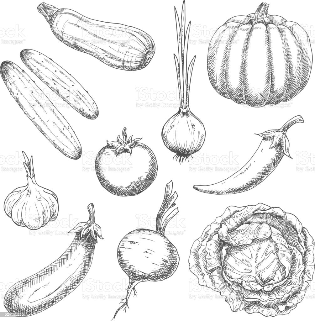 Farm vegetables sketches for agriculture design vector art illustration