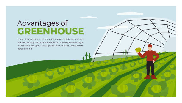 Farmer and greenhouse cultivation in agriculture Vector illustration of advantages of greenhouse. Farmer with vegetables in hand. Farming plant cultivation. Design for agriculture, horticulture or agronomy. Template for banner, poster, flyer, layout agricultural cooperative stock illustrations