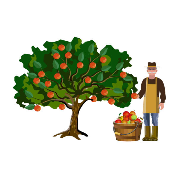illustrazioni stock, clip art, cartoni animati e icone di tendenza di farmer picking off apples - raccogliere frutta