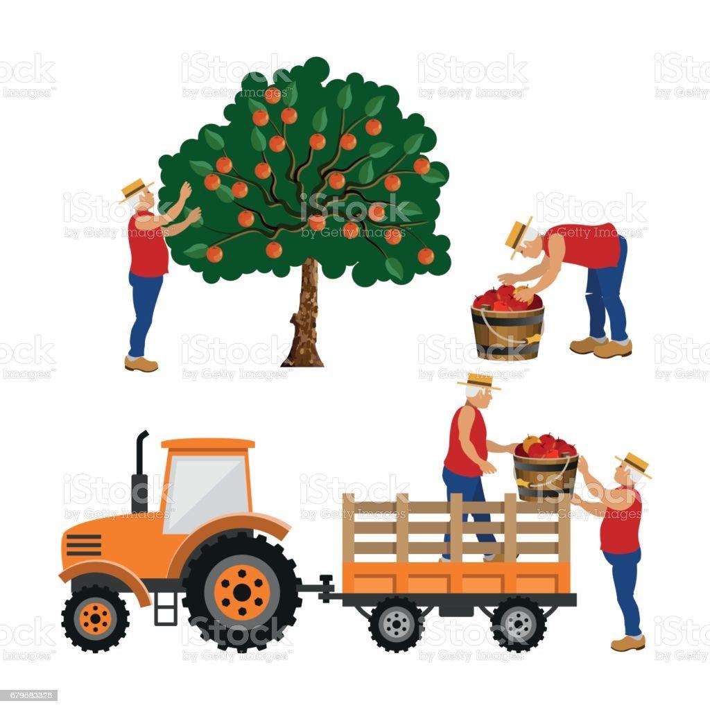 Farmers harvest apples. vector art illustration