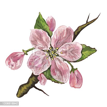 Fashionable spring illustration vector allegory of an original work of art painting with watercolor paints on paper impressionism still life isolated image of an apple tree flower in pink colors on a white paper background