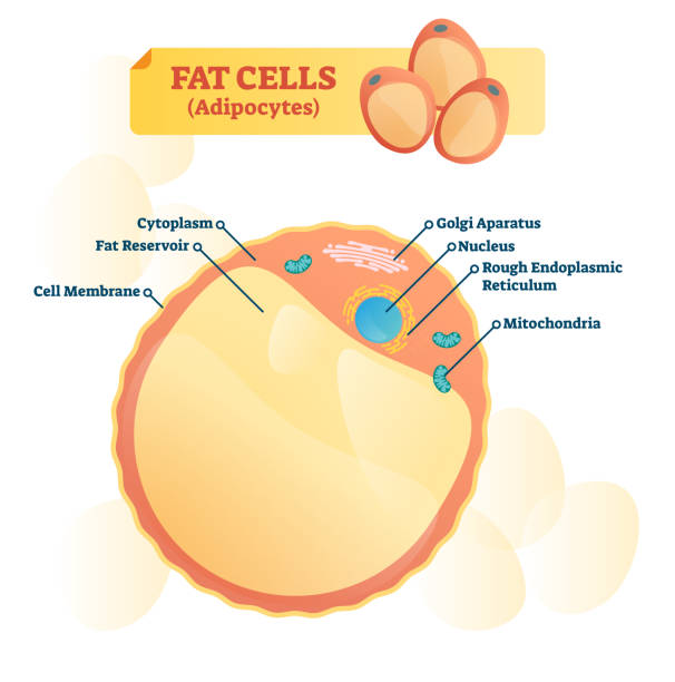 Fat cell structure vector illustration. Labeled anatomical adipocyte diagram Fat cell structure vector illustration. Labeled anatomical adipocytes scheme. Cytoplasm, reservoir, golgi apparatus and endoplasmic reticulum educational diagram. adipose cell stock illustrations