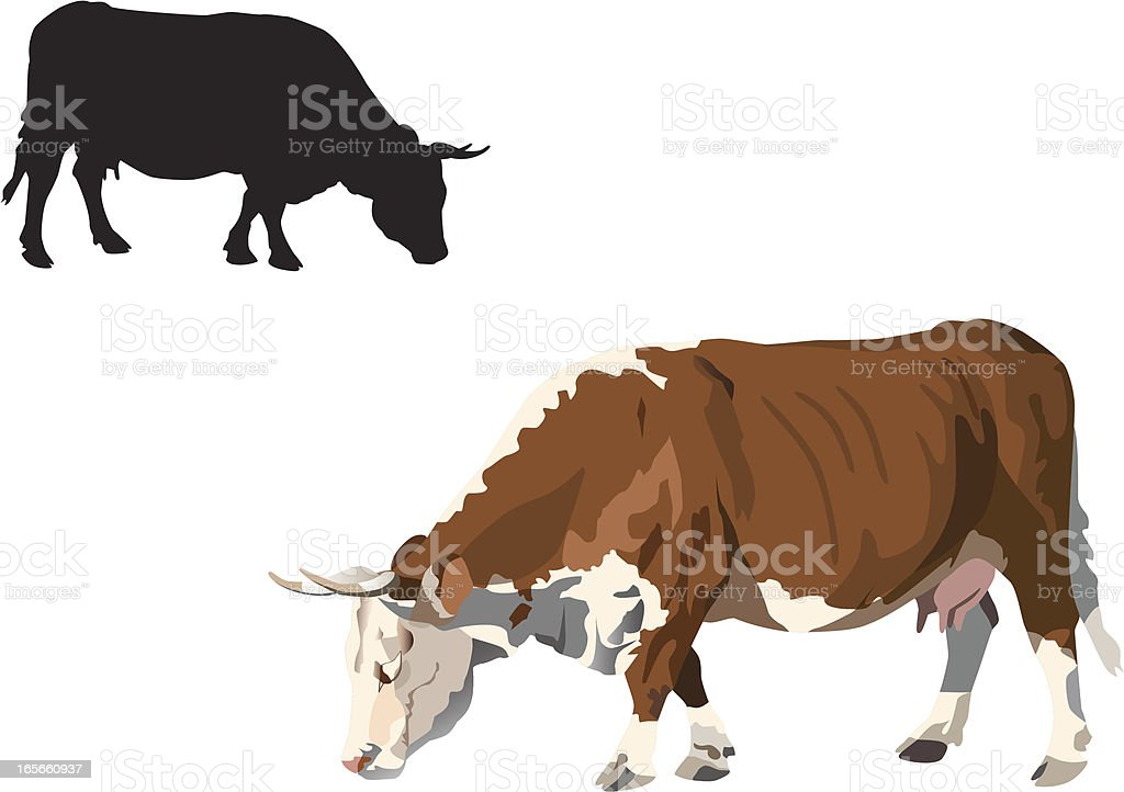 Feeding hereford cow on white royalty-free stock vector art
