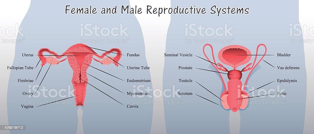 Weibliche Und Männliche Reproduktive Systemdiagramm Stock Vektor Art ...