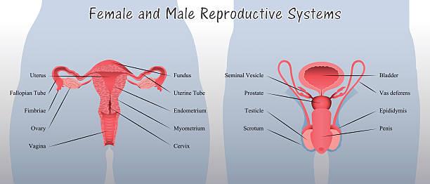 Royalty Free Female    Reproductive    Organ Clip Art  Vector