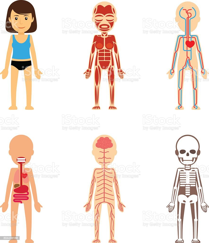 Female body anatomy vector art illustration