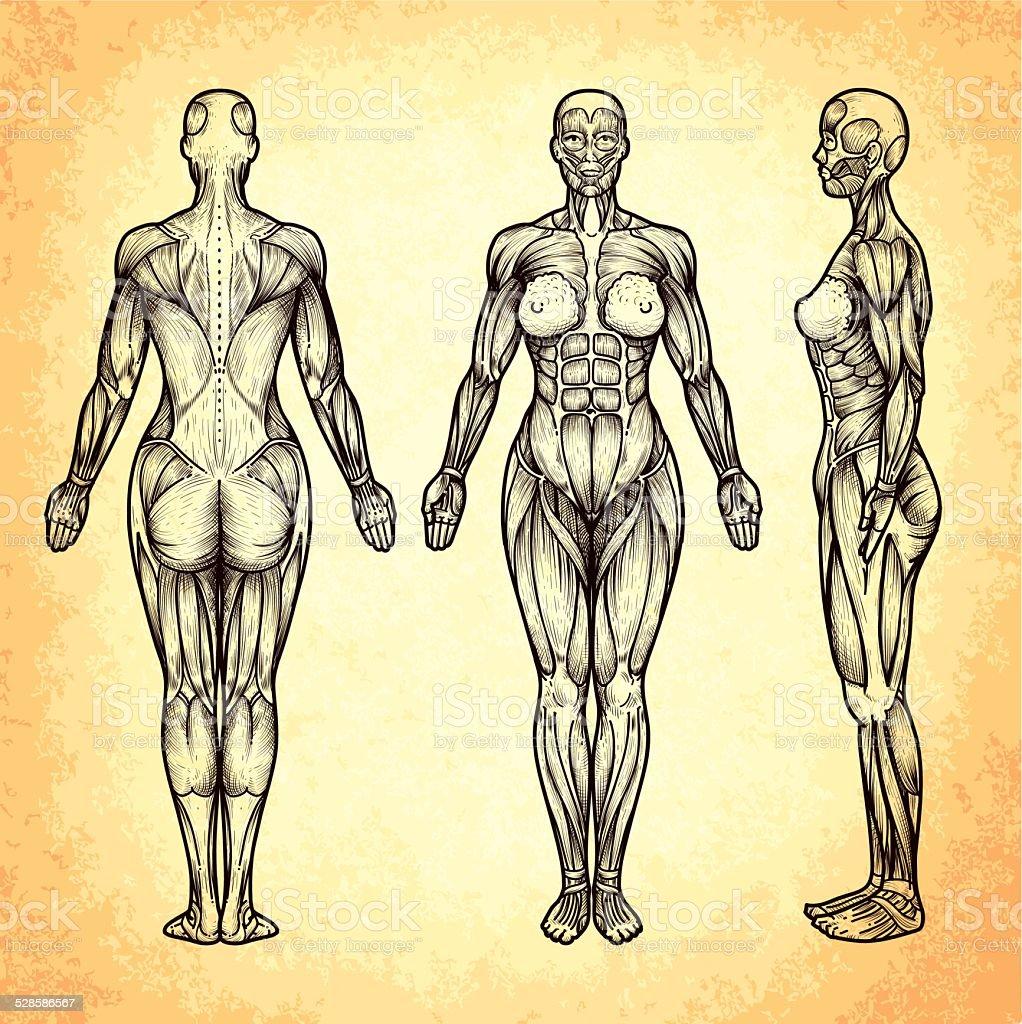 Cuerpo Hembra Anatomía - Arte vectorial de stock y más imágenes de ...
