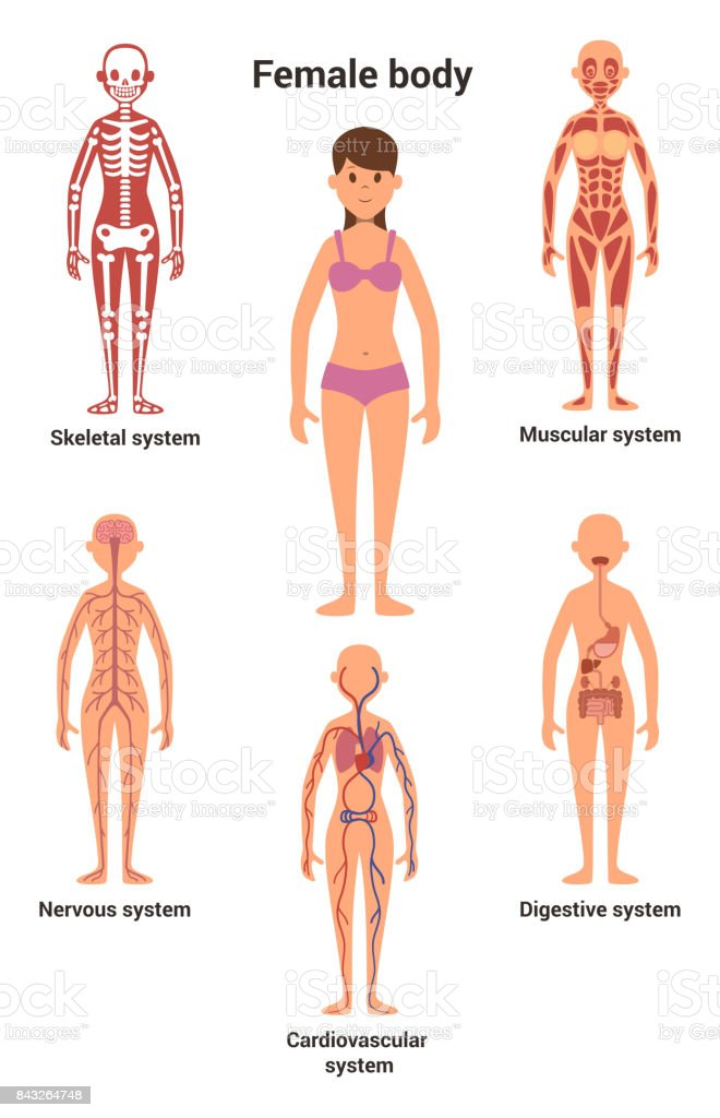 Female Body Human Anatomy Skeletal And Muscular System Nervous And ...