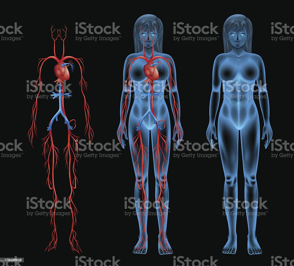 Female circulatory system vector art illustration