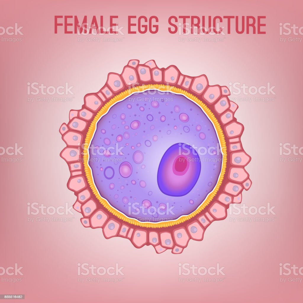 egg structure its uses in Types of eggs article - composition of an egg | types of chicken eggs | other types of eggs composition of an egg an egg is composed of several structures that all serve an important function in its construction.