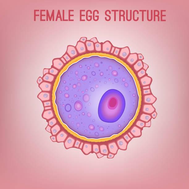 weibliche eizelle struktur - eizelle stock-grafiken, -clipart, -cartoons und -symbole