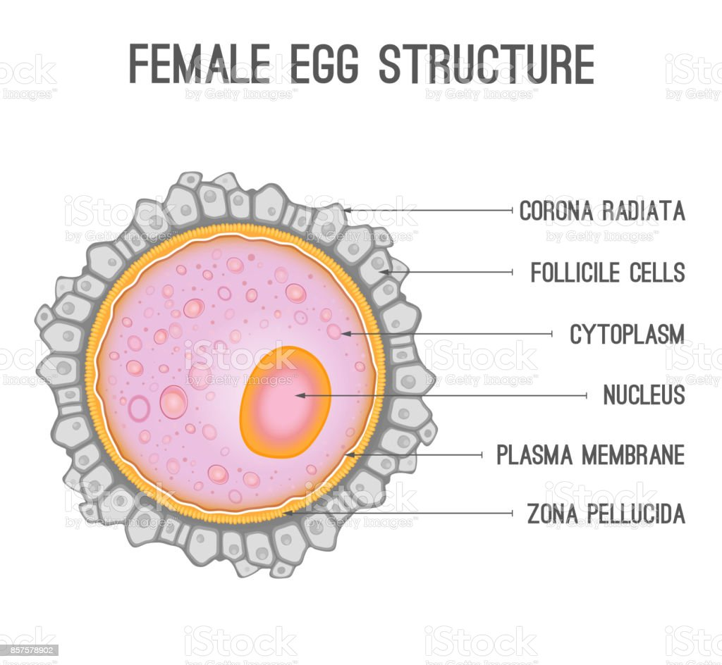 Female Egg Structure Stock Illustration Download Image Now