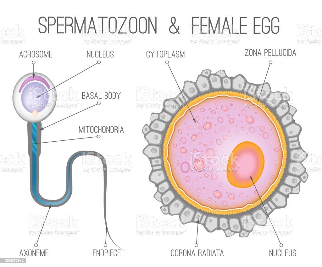 Womans Egg Diagram - Auto Wiring Diagram Today •