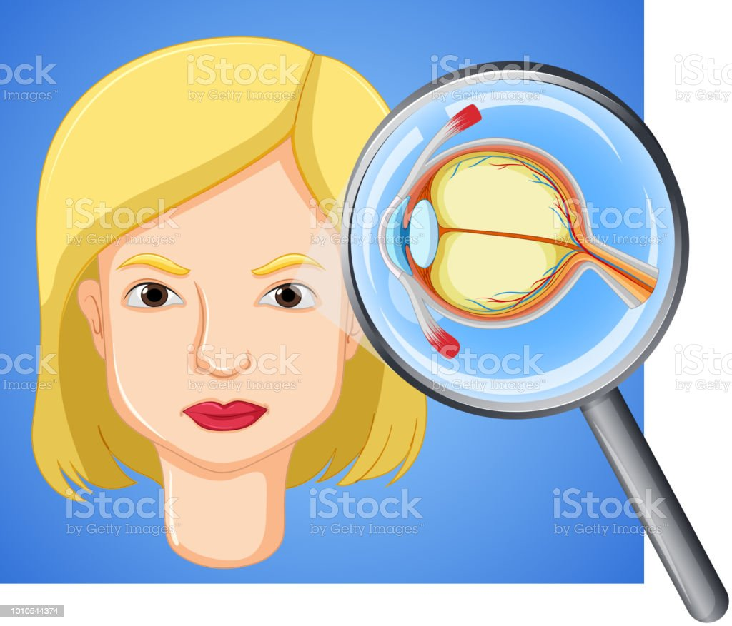 A Female Eyeball Anatomy Stock Vector Art & More Images of Adult ...