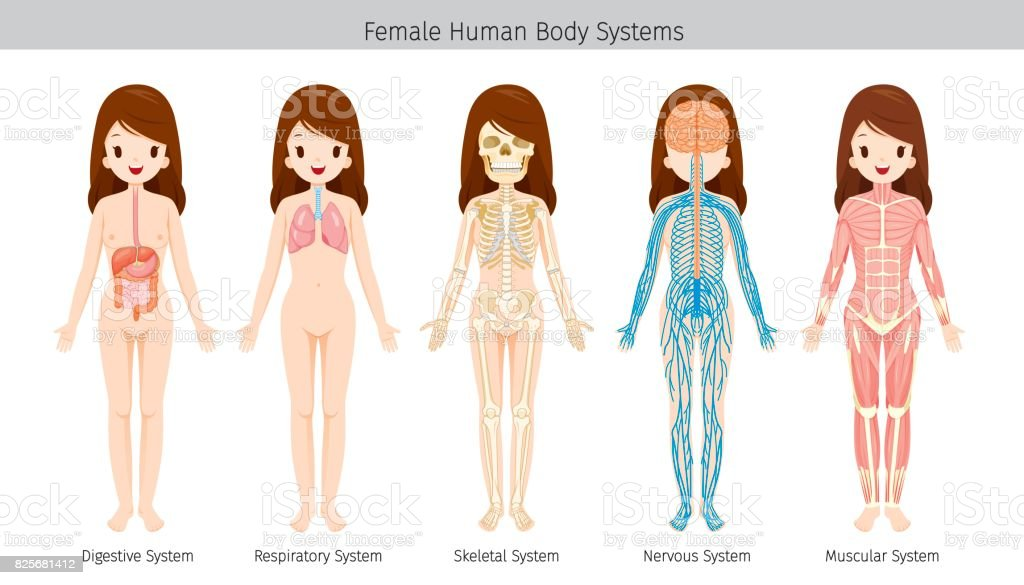 Female Human Anatomy Body Systems Stock Vector Art More Images Of