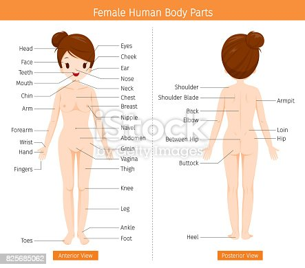 Female Human Anatomy External Organs Body Stock Vector Art & More ...