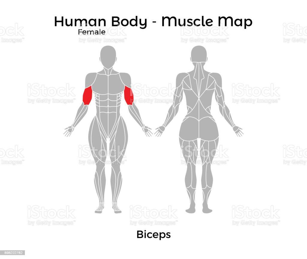 Weibliche Körper Muskel Karte Bizeps Stock Vektor Art und mehr ...