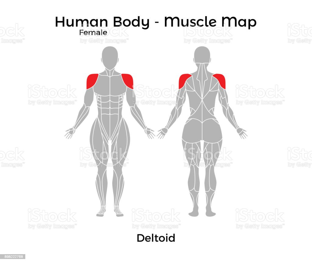Ilustración de Cuerpo Humano Femenino Mapa De Músculo Deltoides y ...