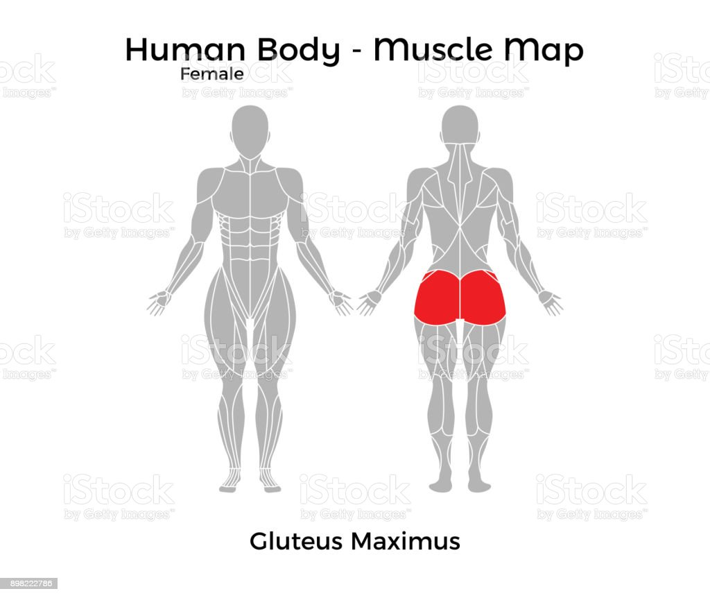 Female Human Body Muscle Map Gluteus Maximus Stock Vector Art & More ...