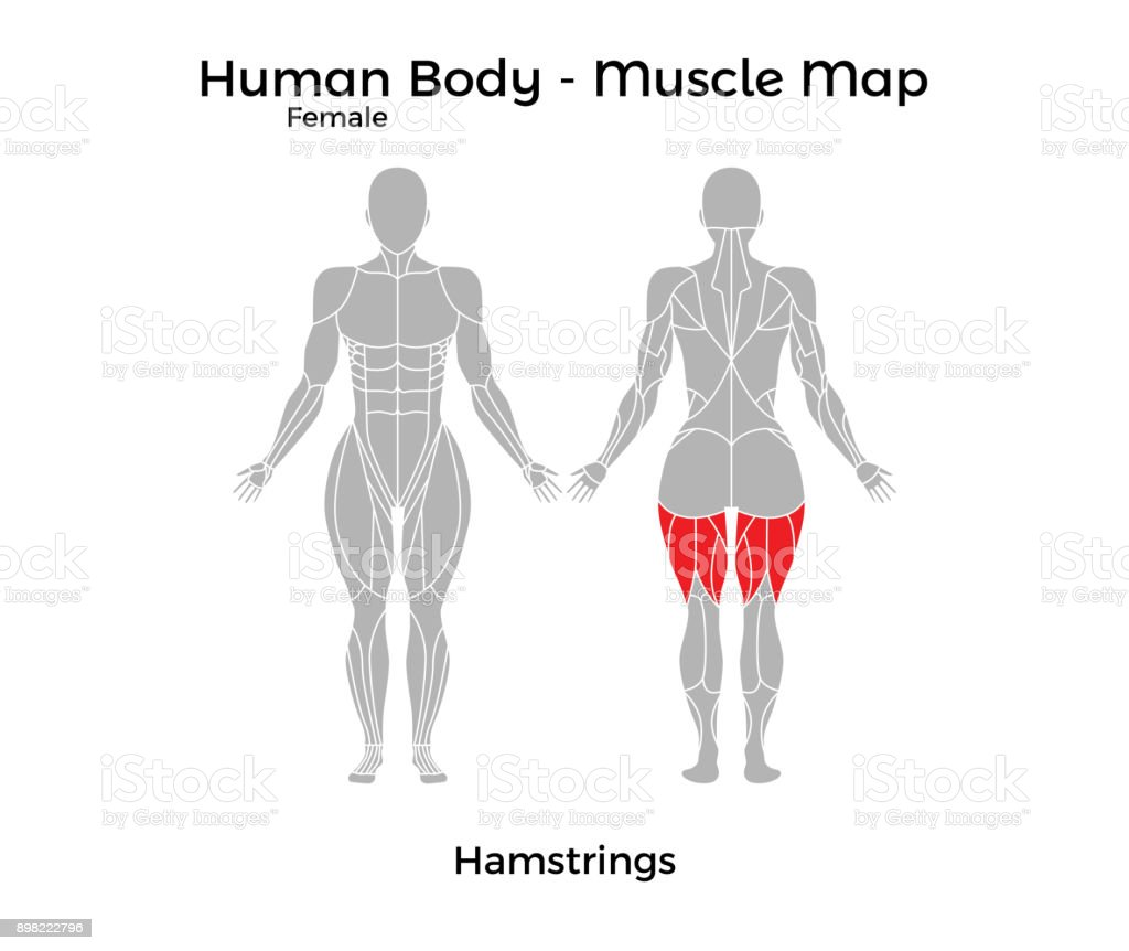 Female Human Body Muscle Map Hamstrings Stock Vector Art More