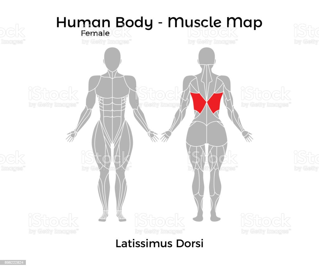 Female Human Body Muscle Map Latissimus Dorsi Stock Vector Art ...
