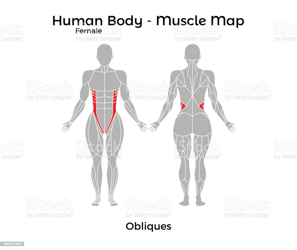 Female Human Body Muscle Map Obliques Stock Vector Art More Images
