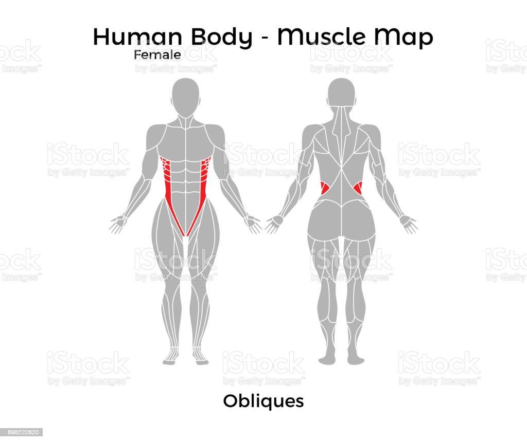 Weibliche Körper Muskel Karte Schrägen Bauchmuskeln Stock Vektor Art ...
