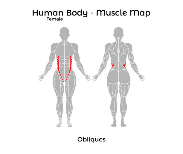 Royalty Free Female Diagram Of Internal Organs Clip Art Vector
