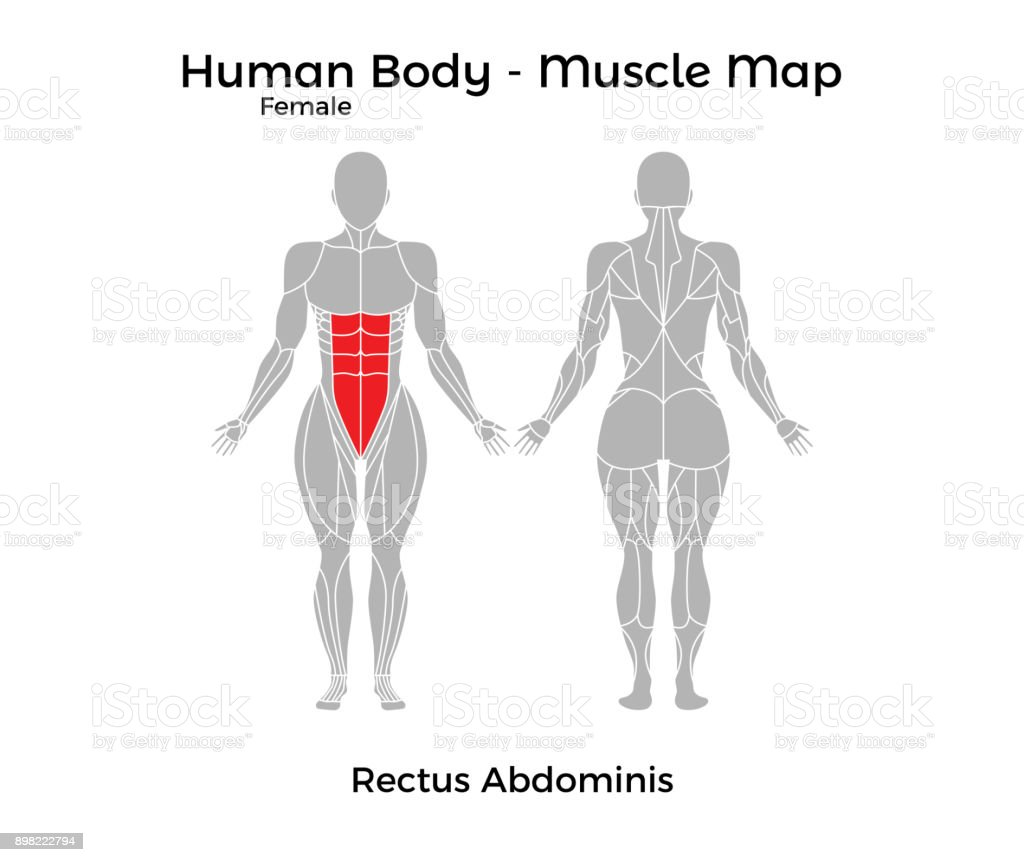 Female Human Body Muscle Map Rectus Abdominis Stock Vector Art