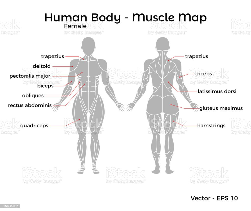 Female Human Body Muscle Map Stock Vector Art More Images Of