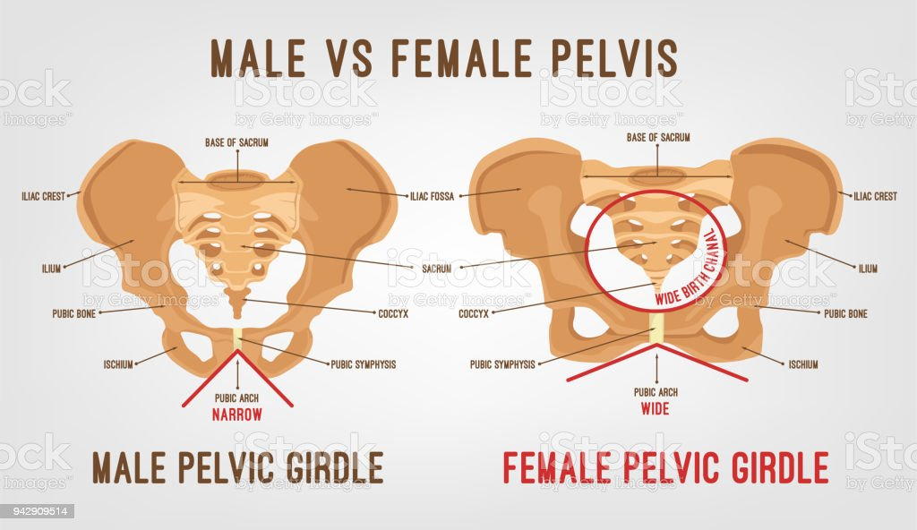 Female Male Pelvis Stock Vector Art & More Images of Adult 942909514 ...