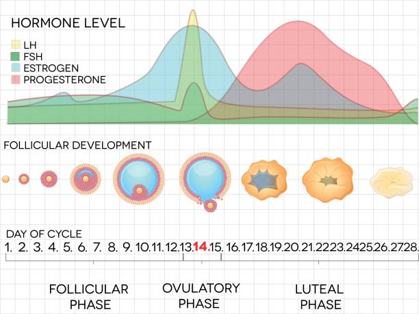 Female menstrual cycle Female menstrual cycle, ovulation process and hormone levels, detailed medical illustration. hormone stock illustrations
