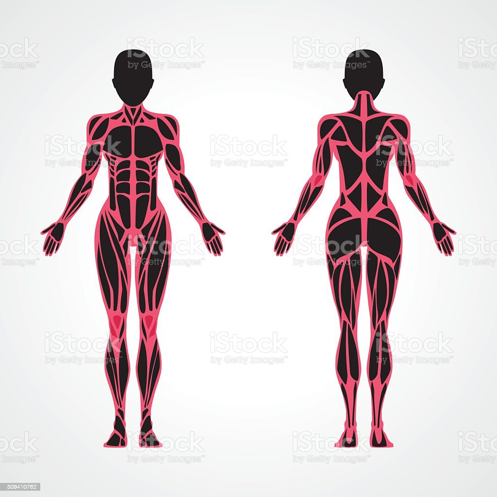 Female Muscular Anatomy Stock Vector Art & More Images of Anatomy ...