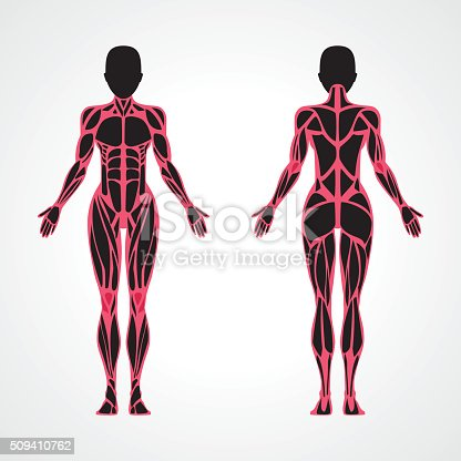 Weibliche Muskeln Anatomie Stock Vektor Art und mehr Bilder von ...