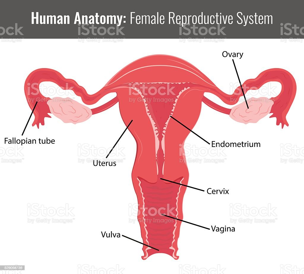 Female Reproductive System Detailed Anatomy Vector Medical Stock