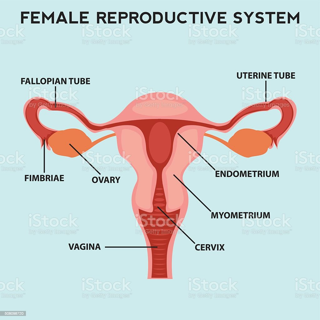 Female reproductive system, image diagram vector art illustration