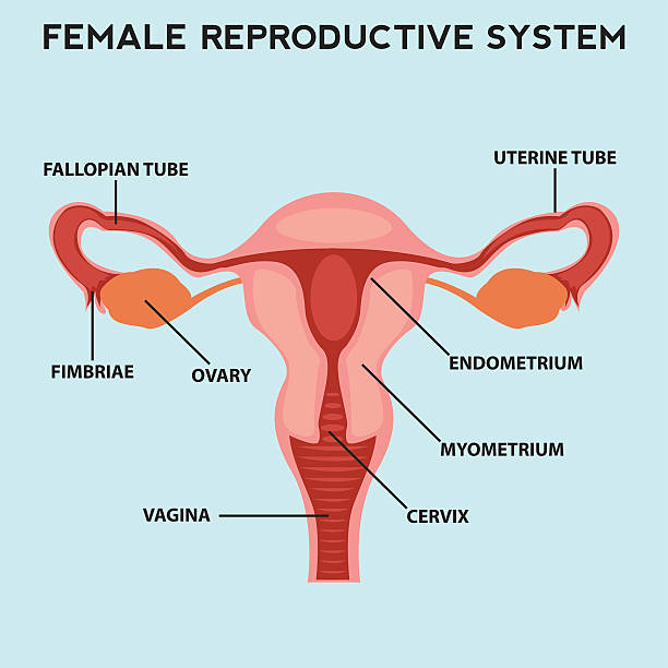 Female reproductive system, image diagram Female reproductive system, image diagram uterus stock illustrations