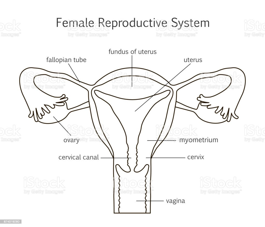 Royalty Free Female Reproductive System Clip Art, Vector