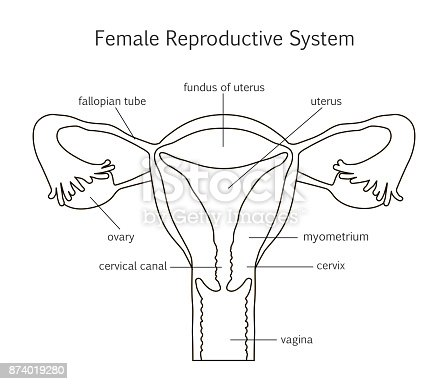 Female Reproductive System Line Icon Stock Vector Art