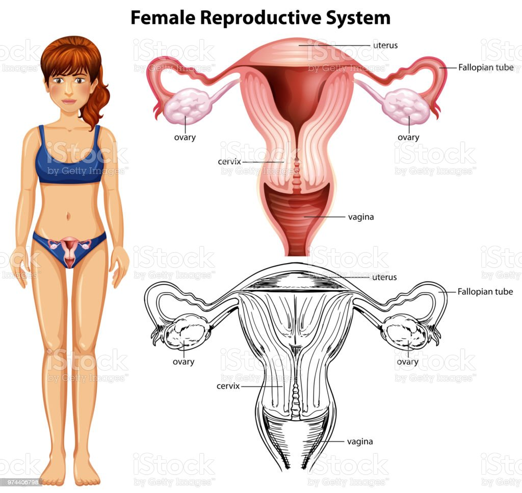Female Reproductive System On White Background Stock Vector Art