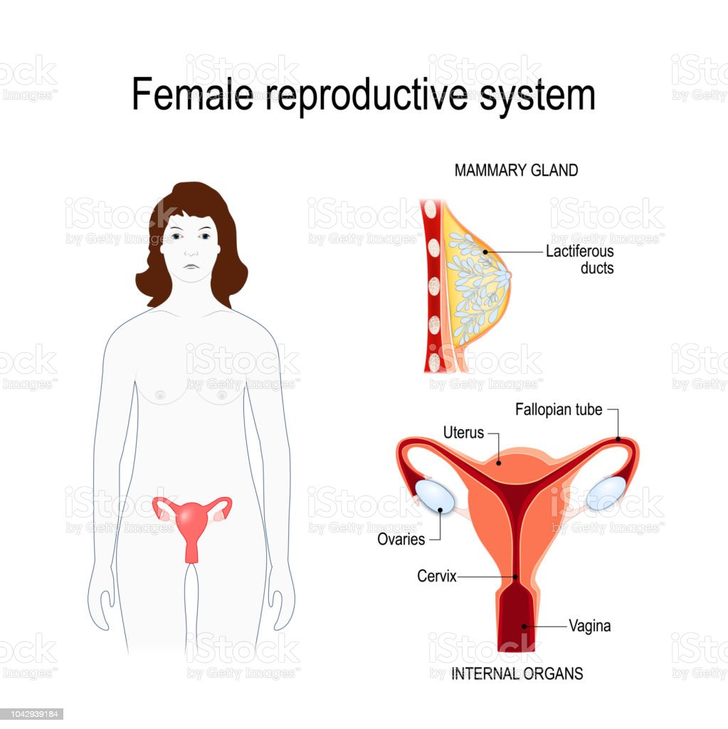 Female Reproductive System Stock Vector Art More Images Of Adult