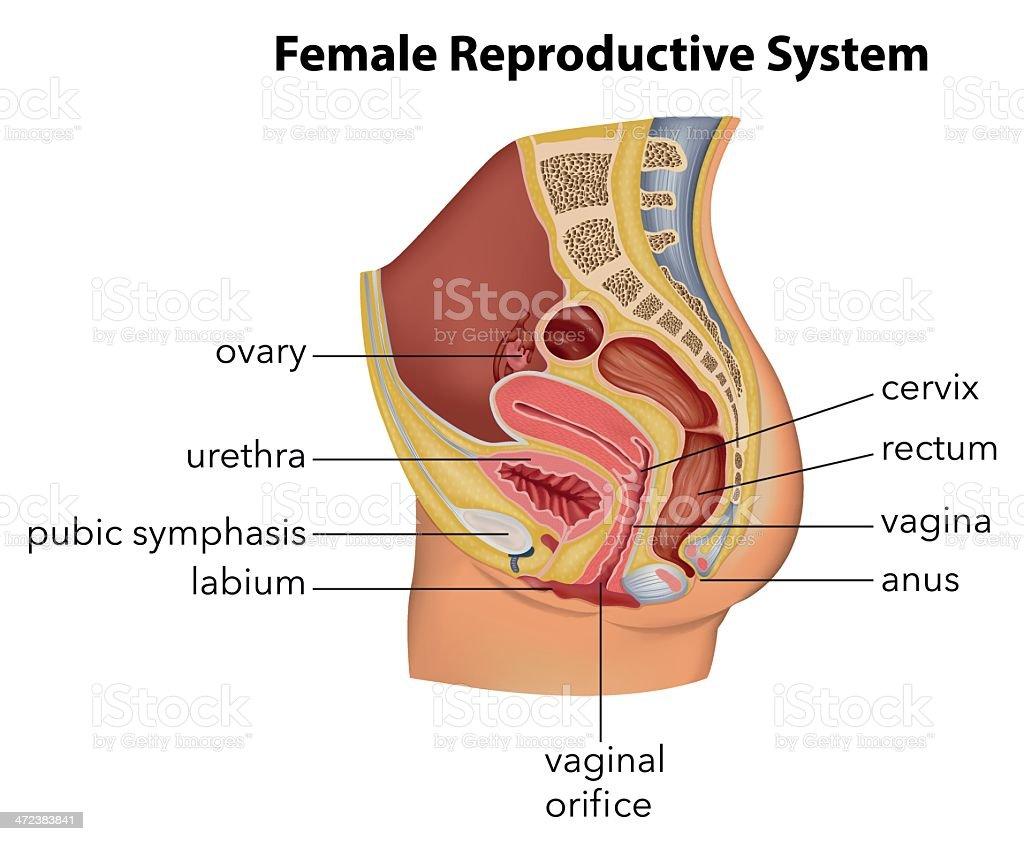 Female Reproductive System vector art illustration